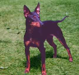 Click Here to Enter the Tudorian Toy Manchester Terrier Homepage!