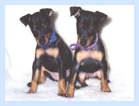 Toy Manchester Terriers, Mocha and Vixen